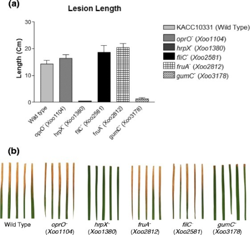 Pathogenicity test of transcriptionally upregulated genes using the lesion length test. a Lesion length in Xoo-susceptible rice leaves infected by single-gene knockout Xoo mutants. b Infected rice leaves in multiple experiments