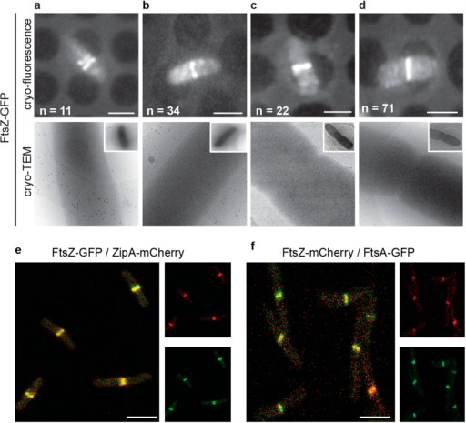 The presence of FtsZ at the division septum is not enough to initiate inner membrane constriction.E. coli cells expressing chromosomally encoded FtsZ-GFP were analysed by cryo-CLEM. (a–d) Upper row, cryo-fluorescence image. Lower row, cryo-electron microscopy image of the same cells as above. (a) In cells where FtsZ-GFP had not yet condensed to a single ring, membrane invagination was not initiated. (b) Cells with FtsZ-GFP accumulated at the midcell, but without visible constrictions. (c,d) Cells with FtsZ-GFP accumulated at the midcell that also showed visible constrictions, indicative of a later stage during division. All cells in this stage had uniform inner and outer membrane invaginations. FtsZ-GFP was also observed in deeply constricted cells (Supplementary Fig. 3), but was not observed in cells that had completed division. Cells expressing FtsZ-GFP exhibited no apparent growth phenotype (Supplementary Figs 4 and 6) and the amount of FtsZ-GFP was less than 20% of the total cellular FtsZ (Supplementary Fig. 5). The total number cells examined by cryo-CLEM during early FtsZ-GFP accumulation at midcell was 127 (the total number of cells for all stages was >200). (e,f) The membrane tethers FtsA and ZipA localize to midcell together with FtsZ, shown by dual color fluorescence microscopy imaging on live cells simultaneously expressing (e) FtsZ-GFP and ZipA-mCherry or (f) FtsZ-mCherry and FtsA-GFP. n > 100. Scale bars = 2 μm. Images are best viewed on a digital screen.