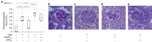 C5a-dependent GN in FH−/− mice with CSS. CSS was induced in FH−/− mice by daily immunization with apoferritin, or saline alone as control. Groups of animals also received C5aRant and/or CPinh after 2 and 3 weeks, respectively. (A) Individual values of semiquantitative GN scores from all mice studied. The horizontal lines are the median values in each group. The boxes enclose Q1–Q3 intervals. Groups were significantly different by Kruskall–Wallis testing (P < 0.001), with between-group comparisons shown in the Figure. (B–E) Representative PAS staining of glomeruli from mice from the different groups. Original magnifications, ×400.