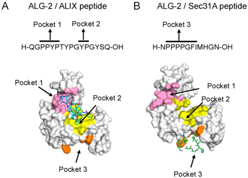 Different hydrophobic pockets used for the binding of ALG-2 to ALIX (ALG-2-interacting protein X) and Sec31A: (A) complex between ALG-2 and the ALIX peptide (PDB code, 2ZNE, chains A and C); and (B) complex between ALG-2 and the Sec31A peptide (PDB code, 3WXA, chains A and C). Peptides are shown in a stick model. Figures were taken from Ref. [58] and modified.