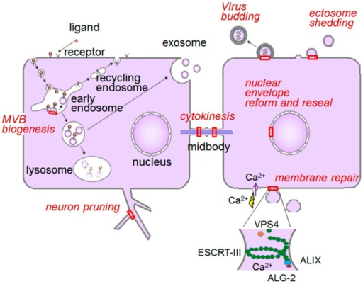 ESCRT system in mammalian cells. ESCRT-associated membrane deformation and abscission machinery works in a versatile phenomenon at particular sites in the cell as indicated by red boxes. VPS, vacuolar protein sorting; MVB, multivesicular body.