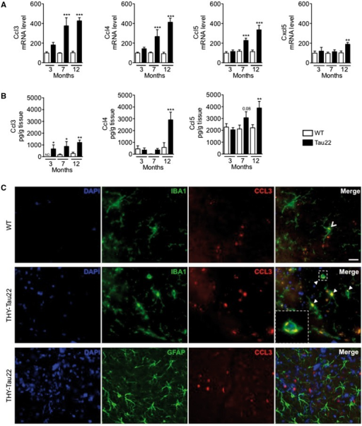 Age-dependent upsurge of chemokines in the hippocampus of THY-Tau22 mice. (A) Quanititative PCR analysis of Ccl3, Ccl4, Ccl5 and Cxcl5 mRNAs revealed a significant and generally progressive overexpression in the hippocampus of transgenic animals as compared to wild-type (WT). Results are expressed as means ± SEM. *P < 0.05, **P < 0.01,***P < 0.001 versus wild-type (3 months) using using one-way ANOVA followed by a post hoc Fisher's LSD test. n = 5–13/group. (B) ELISA determinations of hippocampal CCL3, CCL4 and CCL5 levels in wild-type and THY-Tau22 mice at all ages. The three chemokines were found significantly increased in tau animals, CCL3 being the earliest upregulated chemokine. Results are expressed as means ± SEM. *P < 0.05, **P < 0.01,***P < 0.001 versus wild-type (3 months) using using one-way ANOVA followed by a post hoc Fisher's LSD test. n = 6–8/group. (C) Immunofluorescence analysis of CCL3 expression in the hippocampus of THY-Tau22 mice and wild-type littermates at the age of 12 months. Labelling of CCL3 (red) with the microglial marker Iba1 or the astrocyte marker GFAP (green) revealed clustered CCL3 staining solely in Iba1-positive cells (arrowheads and inset) in transgenic tau mice. To a lesser extent, such clusters are present in wild-type animals. Scale bar = 20 µm.