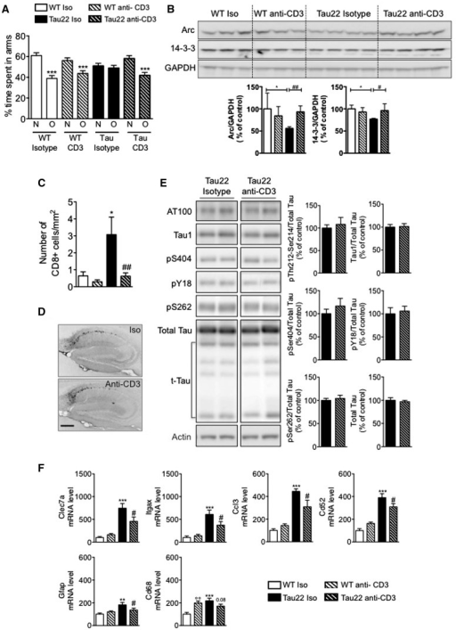 Impact of T cell depletion on spatial memory and hippocampal tau pathology in THY-Tau22 mice. (A) Effect of anti-CD3 antibody treatment on spatial memory using Y-maze task. While wild-type (WT) mice, regardless of treatment, exhibited a preference for the new arm, compared to the familiar arm, THY-Tau22 treated with the isotypic control did not demonstrate preference for the new arm, showing defective spatial memory. By contrast, anti-CD3 treated THY-Tau22 mice demonstrated a preference for the new arm similarly to control animals. Results are expressed as means ± SEM. ***P < 0.001 Familiar/Other (O) versus New (N) arms using one-way ANOVA. n = 6–19/group. (B) Effect of T cell depletion on hippocampal markers of synaptic plasticity. Hippocampal Arc and 14-3-3 immunoreactivities were found significantly decreased in THY-Tau22 mice treated with isotypic control versus wild-type mice and return to control level in THY-Tau22 mice treated with the anti-CD3 antibody. *P < 0.05, versus wild-type isotype, #P < 0.05 and ##P < 0.01 versus THY-Tau22 isotype group, using using one-way ANOVA followed by a post hoc Fisher's LSD test. n = 3–4/group. Hippocampal density of CD8+ T cells in the different experimental groups. Density of CD8+ T cells was significantly increased at 9 months of age in THY-Tau22 mice treated with isotype and returned to control level in THY-Tau22 mice treated with anti-CD3 antibody. *P < 0.05 versus wild-type isotype, ##P < 0.01 versus THY-Tau22 isotype group, using using one-way ANOVA followed by a post hoc Fisher's LSD test. n = 3–10/group. (D) AT8 immunostaining indicate a similar immunoreactivity in THY-Tau22 mice regardless of treatment. n = 8/group. Scale bar = 500 µM. (E) Anti-CD3 treatment did not impact human tau expression, truncation (t-tau) and hyper-phosphorylation at several phospho-epitopes in THY-Tau22 mice. n = 6–8/group. Results are expressed as a percentage of THY-Tau22 mice injected with isotype ± SEM. (F) Effect of anti-CD3 treatment upon mRNA expression of neuroinflammatory markers in the hippocampus of THY-Tau22 mice. **P < 0.01, ***P < 0.001 versus wild-type isotype, #P < 0.05 versus THY-Tau22 isotype group, using using one-way ANOVA followed by a post hoc Fisher's LSD test. n = 6–9/group.
