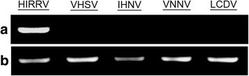 RT-PCR analysis. a RT-PCR amplification from infected EPC cells using specific primers of HIRRV, VHSV, IHNV, VNNV and LCDV. b The flounder β-actin was used as an internal control gene
