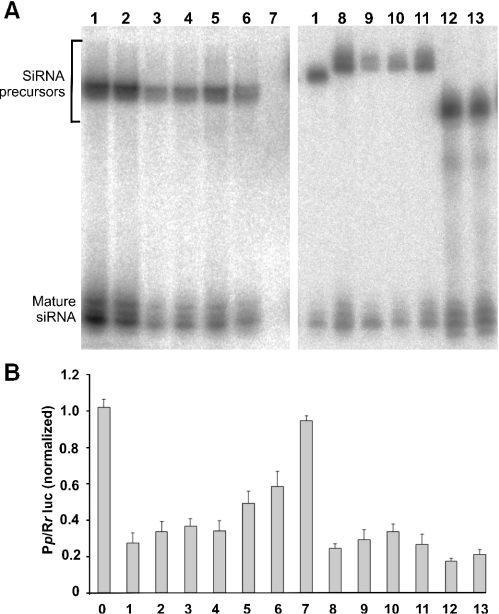 Comparisons in the levels of shRNA expression and in silencing efficacy. (A) Northern analysis of SOD1-shRNA expression under control of either Pol-II or Pol-III promoters. Each lane was loaded with equal amount of total RNA (20 μg/lane) extracted from HEK 293 cells transfected with indicated shRNA constructs. The equal loading was verified by staining the gel with ethidium bromide before transferring the RNA to the membrane (data not shown). Lane numbers correspond to the construct numbers shown in Figure 1. (B) Silencing activity of each construct. HEK 293 cells were transfected with Rr-luc-sod1 and Pp-luc plasmids together with various shRNA constructs against human SOD1 mRNA, located at 3′-UTR of firefly luciferase (Pp-luc) gene. Renilla luciferase (Rr-luc) plasmid served as transfection control. All luciferase activities were normalized to the value measured in the lysate from cells transfected with the empty vector pcDNA3 (carrier). The values are means with SD (n = 6). The construct numbers match with those in Figure 1.