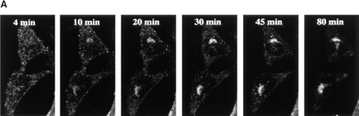 Kinetics of B-fragment transport from EE/RE to the Golgi apparatus. (A) Confocal microscopy on living HeLa cells. Fluorophore-labeled B-fragment was internalized for 1 h into HeLa cells at 19.5°C, upon which the cells were transferred to the stage of a confocal microscope and incubated at 37°C. Digital images (four integration frames) were acquired at the indicated time points. Note that  after 4 min, B-fragment was detected in peripheral structures, and then later concentrated in the perinuclear region. (B) Images as  shown in A were quantified, and the fraction of average Golgi associated fluorescence over average total cell-associated fluorescence is  represented in function of incubation time at 37°C. The means (± SE) of eight experiments are shown. The curve was fitted to f(x) =  1 + 2.97[1 − exp(−0.036×)], r = 0.9979. (C) Sulfation analysis. B-(Sulf)2 was internalized into HeLa cells at 19.5°C, and the cells were  then shifted to 37°C. After 0, 15, 30, 60, and 90 min, radioactive sulfate was added for 15 min. Note that B-(Sulf)2 is at its peak concentration in the TGN during the 15–30 min interval. A representative of 2 experiments is shown. In each experiment, the data points were obtained in duplicate. (D) Cotransport of B-fragment and Tf in living cells. For the points 3 and 10 min at 37°C, fluorophore-coupled  B-fragment and fluorophore-coupled Tf were internalized as described in A. For the point 30 min at 37°C, B-fragment alone was internalized continuously at 37°C, cells were then fixed and stained for the TfR. Note that the B-fragment concentrated in the Golgi area  (large arrow at 10 min), while remaining cytoplasmic B-fragment–containing structures always were Tf (4 and 10 min) or TfR (30 min)  positive (small arrows at 30 min). Single optical slices were obtained by confocal microscopy.