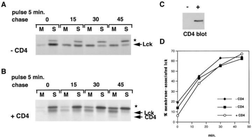 Lck membrane-binding kinetics in the presence and absence of CD4. (A) CD4-negative Jurkat cells were labeled for 5 min  and chased as indicated. Lck was immunoprecipitated from membrane (M) and soluble (S) fractions as described for Fig. 2 B. ★ indicates the background band. (B) The same experiments as in A, now for CD4-positive Jurkat cells. (C) Cell lysates of CD4-negative (−)  and CD4-positive (+) Jurkat cells were analyzed for CD4 expression by immunoblotting. (D) Quantitation of Lck membrane-binding  experiments for two CD4-negative and one CD4-positive Jurkat cell line. Autoradiograms were digitized (as described in Materials and  Methods) and analyzed using the Molecular Analyst program (Bio-Rad). Membrane-associated Lck is expressed as a percentage of the  total amount of Lck and plotted against time.