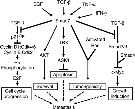 A model showing the role of Smad7 signalling in colon cancer metastasis. The TGF-β activates TβR heterotetrameric complex, leading to activation of the classical Smad2, Smad3 and Smad4 signalling cascade that induces cyclin-dependent kinase inhibitor p21Cip1 and suppresses pro-oncogenic c-Myc expression. The p21Cip1 expression leads to inhibition of cyclin-dependent kinases (CDKs) and cyclins that results in hypophosphorylation of Rb, repression of E2F transcriptional activity and inhibition of cell cycle progression. Smad7 negatively regulates TGF-β/Smad signalling pathways to induce cell proliferation by suppressing p21Cip1 and by induction of c-Myc. Smad7 induces cell survival through the activation of AKT and inhibits apoptosis through the induction of TRX (thioredoxin-1) and ASK1 (apoptosis signal-regulating kinase-1). Smad7 also cooperates with activated Ras and induces tumorigenicity. All of these deregulations of cell behaviour may finally contribute to metastasis. Smad7 expression is induced by TGF-β, EGF, TNF-α and IFN-γ.