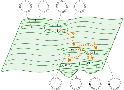 Schematic representation of the epigenetic landscape generated by a stochastic exploration of the GRN for flower development.This schematic landscape is equivalent to the Epigenetic Landscape proposed by C.H. Waddington (1957). Basins comprise the cell genetic configurations that lead to attractors (in this case, gene arrays characteristic of floral organ primordial cell-types: Sepals, petals, stamens, and carpels. See Figure 1 and Discussion). Each cell fate is associated to the GRN configuration corresponding to each of the attractors. The arrows represent transitions among attractors. The transition from inflorescence to sepal attractor might be biased or determined by an inducer. The numbers associated to the arrows represent the sequence of transitions among attractors: From sepals to petals, and then to carpels and stamens.