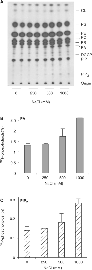 NaCl triggers PA and PIP2 responses within 5 min. Leaf cuts of rice (Oryza sativa) were pre-labeled with 32Pi O/N and then subjected to different concentrations of NaCl (i.e. 0, 250, 500 and 1,000 mM) for 5 min. Lipids were then extracted and separated by alkaline TLC. Radioactivity was visualized by autoradiography and quantified by phosphoimaging. (A) Autoradiograph of alkaline TLC. (B, C) Radioactivity levels of PA (B) and PIP2 (C).