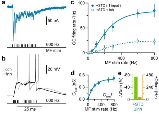 Gain modulation during broad bandwidth single mossy fibre stimulationa, Mixed AMPAR+NMDAR EPSCs in GCs during single MF, Poisson burst-like stimulation (black ticks) at −75mV. Stimulus artifacts subtracted.b, Voltage responses to burst-like MF stimulation with and without tonic inhibition (±inh; black and gray; Ginh = 500 pS) injected via dynamic clamp. Black horizontal bar indicates firing rate measurement window. Vrest = −74mV.c, Average GC input-output relation ±inh for single MF stimulation (n = 7) with Hill fits (Eq. 5).d, Mean between relationship Gexc and MF stimulation rate (f). Blue line is an exponential fit (Eq. 4).e, Gain (green) and offset (orange) changes due to inhibition (±inh) computed from fits in c.