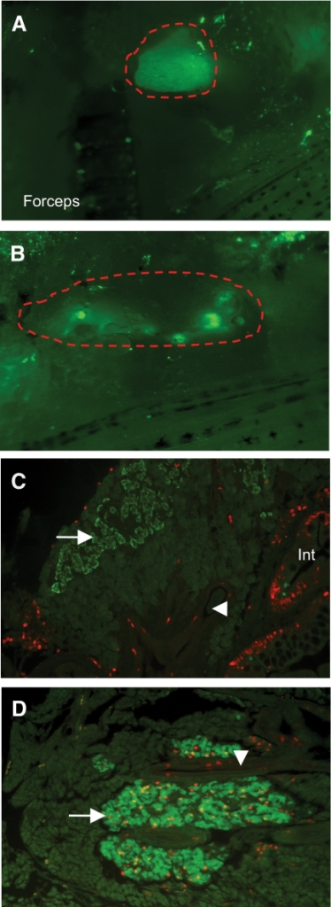 Regeneration after pancreatectomy. A and B: Right side of intact, living zebrafish before (sham, A) and 14 days after (Ptx, B) surgical removal of the GFP+ pancreas (red outline). The tip of the forceps used to remove the pancreas is visible (100× magnification). C: Paraffin section of sham-operated pancreas with few PCNA+ dividing cells (PCNA, red) except in the intestine (Int). β-Cells are green (arrow; 200× magnification). D: Many red PCNA+ dividing cells in ducts (arrowhead) and in nuclei of regenerating β-cells (yellow; 200× magnification). (A high-quality digital representation of this figure is available on the online issue.)