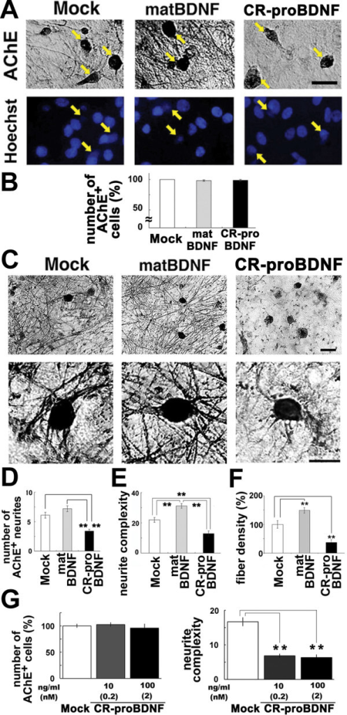 Neurite growth of basal forebrain cholinergic neurons is inhibited by CR-proBDNF, but elicited by matBDNF. BFCNs were cultured in serum-containig (A-E) or serum-free (F) medium for 2 weeks and treated with 100 ng/ml CR-proBDNF or matBDNF in the same medium condition for 2 days. Histochemistry and quantitation of AChE-positve neurites were done as described in Methods. (A) BFCNs were double-stained using AChE histochemistry and Hoechst 33258 (arrows). (B) The survival rate of BFCNs (%) = 100 × [living cells]/([living cells] + [dead cells]). Data were normalized to mock cultures (100% as control). n = 159 (Mock), 151 (matBDNF), and 149 (CR-proBDNF) from three independent coverslips. Results were replicated in three independent experiments. (C) Low- and high-magnification images of AChE-stained BFCNs. (D) The number of neurites extending outwards from the cell body shown in C. n = 38 (Mock), 37 (matBDNF), and 40 (CR-proBDNF) cells from three independent coverslips. (E) Neurite complexity as revealed by Sholl analysis. n = 30 (Mock), 30 (matBDNF), and 30 (CR-proBDNF) cells from three independent coverslips. In multi-bar graphs, ANOVA followed by post-hoc analysis was used. **P < 0.01. Results were replicated in at least three independent experiments. (F) The opposing effects of matBDNF and CR-proBDNF on neurite fiber density were confirmed by a distinct quantitative method. The maximal threshold of AChE-positive cholinergic fiber intensity was defined as 70% above the background. The total intensity of the fibers was determined in an optical field and was divided by the number of AChE-positive neurons in the same field. Data were collected from four independent fields in a single chamber. t-test, **P < 0.01, compared to Mock (100% as control); n = 6 independent culture dishes. Scale bar, 5 μm (A and C). (G) Effect of CR-proBDNF on neurite density of BFCNs in serum-free condition and a dose-dependency test of CR-proBDNF. Cell survival (left) and the neurite number of BFCNs (right) were determined. Note that proBDNF negatively regulates the neurite density of BFCNs in serum-free conditions and at subnanomoler concentration. n = 3 independent coverslips. t-test, **P < 0.01, significantly different from Mock.