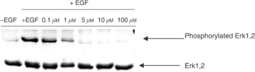 Effect of RB24 on Erk1,2 activation in A431 cells. Serum-starved cells were preincubated for 2 h with the indicated concentrations of RB24 prior to stimulation with EGF for 15 min. Protein lysates were obtained and Western blot was performed as described by Tari and Lopez-Berestein (2000).