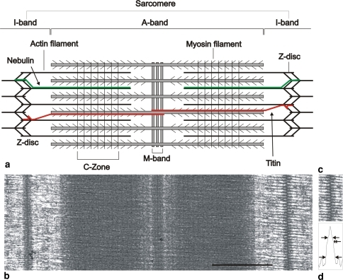 Striated muscle sarcomere. a Schematic diagram showing   Open-i