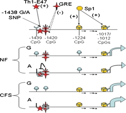 Analyses of GR binding and a qualitative regulatory model of HTR2A expression integrating genetic, epigenetic and disease associations. The 5′end of the HTR2A promoter is shown at the top with relevant experimentally verified TFBS defined. The putative + or − effect on transcription when bound and the location of CpGs in the sequence are also shown. Methylation sites are indicated by  when largely unmethylated and by  when largely methylated. Loss of methylation site due to polymorphism is indicated by . The effect of genotype and methylation on TF binding, and thus HTR2A transcription is indicated by the size of the arrow at the end of each model. The model predicts subjects with AA genotype largely explain the differential expression of HTR2A between CFS and NF subjects. Inhibition of E47 binding by cortisol-bound GR in NF subjects is indicated by ⊣ and the inhibited transcription factor is covered by