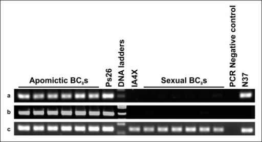 Examples for mapping of transcripts to the ASGR-carrier chromosome. a: amplification from PS26, N37 and apomictic BC8but not from IA4X or sexual BC8(PS26_c583: p1510/p1511). b: amplification from PS26 and apomictic BC8but not from IA4X, N37 or sexual BC8(PS26_c9369: p1514/p1515). c: amplification from PS26, IA4X, N37 and both apomictic and sexual BC8(no specificity; PS26_c4364: p1504/p1505). Specificity for PS26_c4364 subsequently was achieved by using a different primer pair (Table 2).