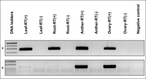 Examples of expression patterns for ASGR-carrier chromosome linked sequences. a: most genes showed expression in all four organs tested (Ps26_c194: p1604/p1605). b: one gene was expressed in only ovary and anther (PS26_ c33813: p1565/p1566). RT(+): RT with reverse transcriptase; RT(-): RT without reverse transcriptase as DNA contamination control.