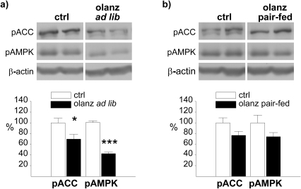Effect of subchronic olanzapine administration on phosphorylation of hypothalamic AMPK and ACC.Western blot analysis of hypothalamic pAMPK and pACC from rats following an over night fast after 5 consecutive days of administration by gavage (b.i.d) with a) olanzapine (ad libitum fed) or b) olanzapine (pair-fed), relative to control rats. Calculations are based on results from 6 rats for each treatment group, run in duplicate. Representative images for the calculated difference were selected. Each lane (pACC, pAMPK and β-actin) always represents results on the same gel from the same rat. * P≤0.05 vs. vehicle. ** P≤0.01 vs. vehicle. *** P≤0.001 vs. vehicle.