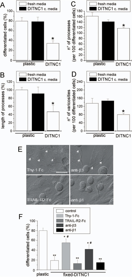 Integrin αVβ3 expressed by DITNC1 astrocytes inhibits neurite extension of CAD cells.(A–D) Quantification of four different morphological parameters using IMARIS software (Bitplane, Switzerland) of bright-field microscopy images of CAD cells seeded over plastic, seeded over plastic in serum-free medium previously conditioned by DITNC1 cells for 24 hours (black bars) or over a monolayer of DITNC1 astrocytes in serum-free medium. (A) Percentage of differentiated CAD cells with processes ≥15 µm; (B) length of the processes extended by differentiated cells, expressed as a percentage of the control over plastic; (C) number of processes in 100 differentiated cells and (D) number of varicosities per 100 differentiated cells. (E,F) CAD cells seeded over fixed-astrocyte monolayers were induced to differentiate. To block αVβ3 integrin, fixed-cells were incubated with recombinant Thy-1-Fc or antibodies against β3 integrin. TRAIL-R2-Fc or antibodies against β1 integrin were used as controls. Co-cultures were photographed (E) and the percentage of differentiated CAD cells (F) was quantified as in (A). Arrows in E indicate axon-like neurites growing over the DITNC1 mololayer. All graphs show mean+s.e.m. determined from at least 100 cells per condition; n = 3. **P<0.01 or *P<0.05 compared with control cells seeded over plastic. #P<0.05 compared with their respective control.
