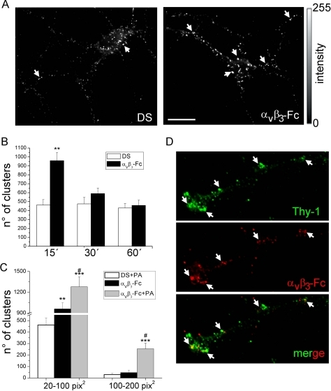 Soluble αVβ3-Fc induces Thy-1 cluster formation on the plasma membrane of living cortical neurons.Mature cortical neurons were treated with supernatants containing αVβ3-Fc fusion protein (αVβ3-Fc) supplemented or not with Protein A (PA), or with αVβ3-Fc-depleted supernatants (DS) for 15–60 minutes. Neurons were immunostained for Thy-1 only (A) or for Thy-1 and αVβ3-Fc (D). (A and D) Thy-1 clusters (arrows in A) and co-localization with bound αVβ3-Fc (arrows in D) of representative images captured with an epifluorescence microscope are shown. Bar = 20 µm. (B) Data plotted as time versus the number of clusters were obtained from images processed using ImageJ. Ranges of cluster size from 20 to 100 pix2 (1 pix2 = 0.01 µm2). (C) Data plotted as a range of cluster sizes versus the number of clusters for each indicated condition. Results show mean+s.e.m. (12 neurons per condition, n = 6). **P<0.01 and ***P<0.001 compared with their respective control cells in DS at time 15 minutes. #P<0.05 between αVβ3-Fc-Protein A and αVβ3-Fc (D).