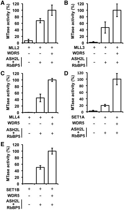 Stimulation of the SET1 family of KMTs activity on histone H3 by the core complex. Radiometric methyltransferase assays performed with MLL2 (A), MLL3 (B), MLL4 (C), SET1A (D) and SET1B (E) either in the absence or presence of WDR5 and the RbBP5–ASH2L complex. Methyltransferase assays were performed at a concentration of enzyme in the linear range of activity of MLL2 (1 µM), MLL3 (0.5 µM), MLL4 (1 µM), SET1A (1 µM) and SET1B (0.5 µM) complexes. Activity is represented as the average of three independent experiments performed in triplicate. Error bars indicate the standard deviation between the assays.