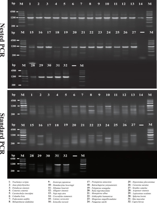 "Agarose gel electrophoretic analysis of the PCR products.The first fragments of the long NPCL marker SACS (SACS-F1) were amplified in 32 taxa using nested PCR and standard PCR, respectively. The upper image shows the results of nested PCR amplifications, and the lower image shows the results of standard PCR amplifications. Lanes 1–32 show identical PCR amplifications performed in different species. ""-"": negative controls, ""M"": DNA ladder."