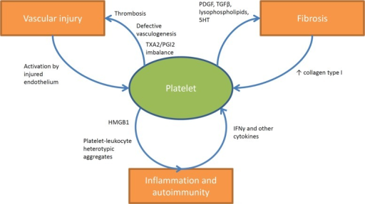 Involvement of platelets in the pathogenesis of SSc. Platelets are stimulated by the injured endothelium and contribute to vascular dysfunction and ischemia by participating in thrombotic events and by releasing vaso-active moieties (such as TXA2). Increased expression of type I collagen as a consequence of tissue fibrosis further enhances platelet activation. On the other hand platelets actively stimulate tissue fibrosis by releasing fibrogenic mediators such as PDGF, TGF-β, lysophospholipids, and serotonin. The interactions of platelets with immune cells in SSc are less clearly understood. Platelets are known sources of active pro-inflammatory mediators like HMGB1, and interestingly increased circulating levels of this prototypic alarmin have been shown to correlate with disease activity in SSc. Moreover evidence is growing about the prominent role of circulating heterotypic aggregates (between platelets and innate immune cells) in the pathogenesis of inflammatory and vascular diseases and recent studies are currently evaluating their impact in the pathogenesis of SSc. Furthermore other studies suggested the existence of a specific network between collagen-reactive T lymphocyte and platelets in SSc. In this latter setting platelet activation would be enhanced by the release of IFNγ and a wider array of cytokines from autoreactive T lymphocyte, which in turn would affect megakaryocyte maturation and platelet basal activation state.