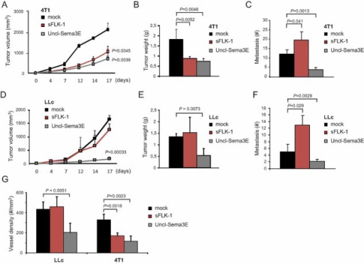 Tumours refractory to VEGF-blockade are efficiently inhibited by systemic Uncl-Sema3E, further reducing distant metastasisA-F. The expression of either the validated VEGF-trap molecule sFlk1 or Uncl-Sema3E (or mock control) was achieved in immunodeficient mice by naked cDNA hydroporation (see Materials and Methods Section). The concentration of proteins delivered in the systemic circulation was assessed by ELISA (see Table 1). Mice treated with either of the two anti-angiogenic molecules were randomized into two experimental groups (n = 10) and transplanted with either 4T1 (VEGF-inhibitor responsive) or LLc (VEGF-inhibitor non-responsive) cancer cells (n = 5 per each experimental condition). Panels A and D show the volumetric growth of 4T1 and LLc tumours over time, respectively (statistical significance was calculated vs. respective control tumours). Panels B and E show endpoint 4T1 and LLc tumour burden, respectively. Vessel density is shown in panel G for both models (based on CD31 staining). The load of spontaneous lung metastasis is shown in panels C and F.
