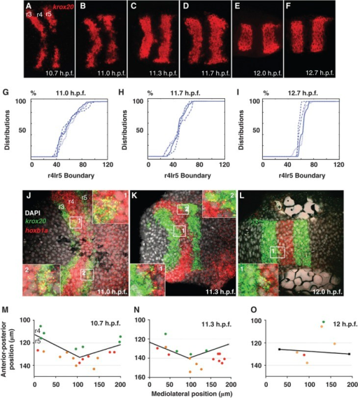 Sharpening of gene expression boundaries in the zebrafish hindbrain. (A–F) Single confocal images of fluorescent in situ hybridization (FISH) for krox20 (red) mRNA, dorsal views, anterior to the left, between 10.7 and 12.7 h post fertilization (h.p.f.). (G–I) Fluorescence measurements at different positions along the anterior-posterior axis (X axis) at 11, 11.7, and 12.7 h.p.f. Lines represent four different samples. (J–L) Single confocal images of two-color FISH for hoxb1a (r4, red) and krox20 (r3 and r5, green). Insets show enlargements of cells co-expressing both (yellow). (M–O) Sample distributions of mis-expressing cells along the r4/5 boundary (black lines) between 10.7 and 12 h.p.f., anterior to the top. Cells mis-expressing krox20—green dots, hoxb1a—red dots and co-expressing cells—orange dots.