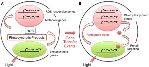 Evolution of the chloroplast retrograde signal for nuclear transcriptional regulation. After endosymbiosis, the chloroplast performed photosynthesis, generating photosynthetic metabolites as well as reactive oxygen species (ROS). The ability to sense and respond to these compounds in the cytoplasm should have been present even prior to the gene transfer event, and thus the nucleus was likely able to cope with them without any specific evolution (A). After the gene transfer event from the chloroplast to the nucleus, the location of the gene and its function differentiated. To modulate the function and amount of the gene product properly, the cell evolved a regulatory loop through a specific retrograde signaling pathway (B).