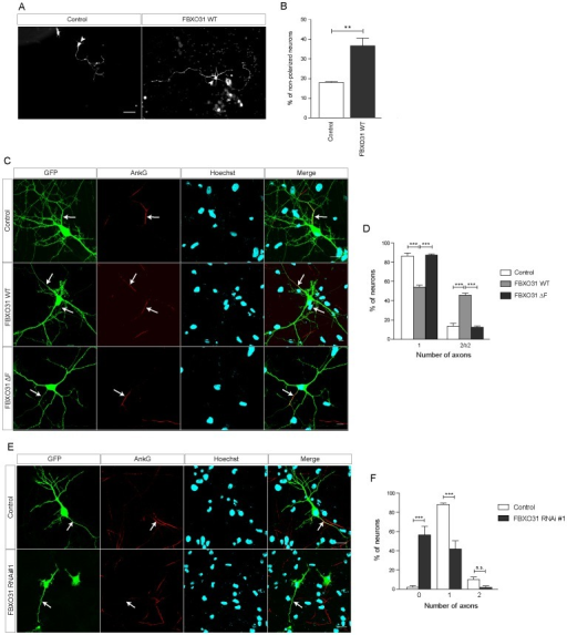 FBXO31 regulates axonal identity in neurons. A.Representative images of cerebellar granule neurons transfected with control vector or mycFBXO31 WT plasmid at DIV 0 and analyzed at DIV 3. Arrowheads indicate granule neuron cell bodies. Scale bar equals 50 µm. B. Quantification of percentage of non-polarized granule neurons shown in A. (N = 3, n = 256, mean±SEM, unpaired t-test, **p<0.01). C. Representative images of cultured hippocampal neurons transfected at DIV 1 with control vector, plasmids encoding mycFBXO31 WT or mycFBXO31 ΔF together with the GFP plasmid and immunostained at DIV 7 with α-GFP and α-AnkG antibodies and counterstained with Hoechst. Arrows indicate axon initial segment. Scale bar equals 10 µm. D. Quantification of number of axons in C. A total of 169 cells were analyzed (N = 3, mean±SEM, two-way ANOVA ***p<0.001). E. Representative images of cultured hippocampal neurons from E18 rat embryos transfected with control vector or FBXO31 RNAi#1/CMVGFP plasmid at DIV 1 and immunostained at DIV 6 with α-GFP and α-AnkG antibody and counterstained with Hoechst. Arrows indicate axon initial segment. Scale bar equals 10 µm. F. Quantification of number of axons in E. A total of 121 cells were analyzed (N = 3, mean±SEM, two-way ANOVA ***p<0.001).