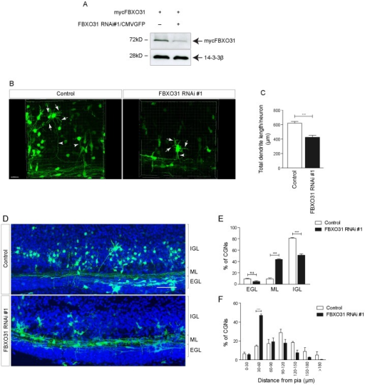 FBXO31 regulates dendrite growth and neuronal migration in the developing cerebellum. A.HEK 293T cell lysates transfected with mycFBXO31 along with control or bi-cistronic FBXO31 RNAi #1/CMV-GFP plasmids were probed with α-myc antibody. 14-3-3ß served as a loading control. B. Snapshots of 3D-reconstructed cerebellar granule neurons from rat pups electroporated with control plasmid or with FBXO31 RNAi #1/CMV-GFP bi-cistronic plasmid at P4 and analyzed at P9. Arrows indicate dendrites and arrowheads indicate axons of granule neurons. Scale bar equals 50 µm. C. Histogram showing dendrite length measurements for control or FBXO31 knockdown neurons. A total of 84 neurons were analyzed for dendrite length measurements (n = 3, mean±SEM, unpaired t-test, ***p<0.001). D. Coronal sections of rat pup cerebellum electroporated as described in Figure 4B. IGL = internal granular layer, ML = molecular layer, EGL = external granular layer. Scale bar equals 50 µm. E. Histogram showing percentage of migrated neurons in EGL, ML or IGL. A total of 3637 neurons were analyzed. (n = 3, mean±SEM, two-way ANOVA ***p<0.001, n.s. = not significant). F. Histogram showing distance of granule neuron cell bodies from the pial surface. A total of 681 neurons were analyzed. (n = 3, mean±SEM, two-way ANOVA ***p<0.001).