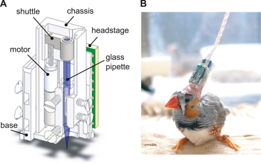 The design of the integrated intracellular microdrive used in these experiments.(A) Schematic diagram of sharp intracellular microdrive, based on a Microdrive design developed by Michale Fee. (B) A male zebra finch with a microdrive implanted over HVC.DOI:http://dx.doi.org/10.7554/eLife.01833.004