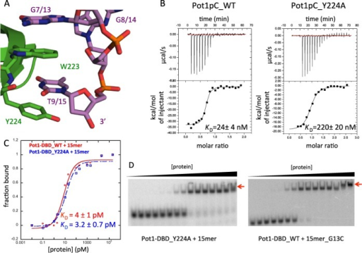 Disruption of the interaction between Pot1pC and the 3′ end of 15mer switches Pot1-DBD to the 12mer-binding mode. (A) In the Pot1pC+9mer complex, nucleotides G7 and T9 of 9mer (corresponding to G13 and T15 in 15mer) form an extended aromatic stack with Trp223 and Tyr224 of Pot1pC/Pot1DBD (PDB ID: 4HIK). Pot1pC is colored green, 9mer is colored violet and atoms are colored by element. (B) Y224A mutation disrupts binding of Pot1pC to 9mer by nearly 10-fold. (C) The same Y224A mutation in Pot1-DBD (blue) has no effect on affinity relative to wild-type Pot1-DBD (red). (D) However, Y224A mutation apparently switches to the 12mer-binding mode based on the supershift (red arrow) at high protein concentration. G13C substitution also creates a supershift indicative of the 12mer-binding mode.