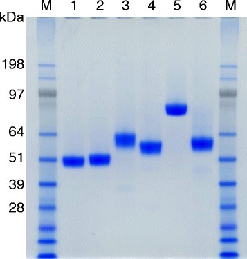 SDS-PAGE analysis of purified enzymes. Lanes: M, protein marker; 1, Xyl10A; 2, Cel5A; 3, Cel7B; 4, Cel6A; 5, Bgl3A; 6, Cel7A.