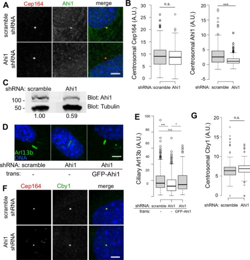 Effects of depleting Ahi1. (A) Cby1+/+ MEFs transduced with lentivirus expressing shRNA targeting Ahi1 or scrambled control were serum starved for 24 h, fixed, and stained for Cep164 and Ahi1. Scale bar, 5 μm. (B) Centrosomal levels of Cep164 or Ahi1 quantified and displayed as Tukey boxplots. Results from duplicate experiments, >100 observations/experiment, ***p < 0.001 by Mann–Whitney U test. (C) Western blot analysis of extracts from Cby1+/+ MEFs stably transduced with lentivirus expressing shRNA targeting Ahi1 or scrambled control and probed with anti-Ahi1 or anti–α-tubulin as a loading control. For each sample, Ahi1 signal intensity, shown at bottom, was quantified and divided by tubulin signal intensity. Values shown are normalized to control shRNA signal intensity. (D) MEFs transduced with lentivirus expressing short hairpin RNA against Ahi1 or a scrambled control or with shRNA against Ahi1 followed by GFP-human-Ahi1 transgene, serum starved for 24 h, fixed, and stained for Arl13b. Scale bar, 5 μm. (E) Ciliary Arl13b intensity quantified and displayed as a Tukey boxplot. Results from three independent experiments, >40 observations/experiment. ***p < 0.001; *p < 0.05; n.s., not statistically significant; by Mann–Whitney U test. (F) Cby1+/+ MEFs transduced with lentivirus expressing shRNA targeting Ahi1 or scrambled control were fixed and stained for Cep164 and Cby1. Scale bar, 5 μm. (G) Centrosomal levels of Cby1 quantified and displayed as Tukey boxplots. Results from duplicate experiments, >100 observations/experiment.