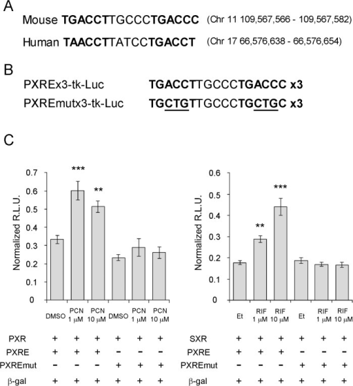 Consensus SXR/PXR responsive element motifs in the first introns of SXR and PXR genes.(A) Consensus SXR/PXR responsive element motifs, variant direct repeat 5, were identified in the first intron of both murine PXR gene (chromosome 11) and human SXR gene (chromosome 17). The bold letters indicate consensus SXR/PXR binding motif. (B) Generation of reporter plasmid containing three copies of PXR responsive element (PXRE) and PXRE with mutation (PXREmut). Underlined letters indicate mutated nucleotides. (C) Cos7 cells were transfected with PXR or SXR expression vector and reporter plasmid containing murine PXR responsive element or mutated PXR responsive element, and β-galactosidase expression vector (β-gal). The cells were then treated with indicated concentrations of PXR agonist pregnane-16α-carbonitrile (PCN) or SXR agonist rifampicin (RIF) or vehicles: DMSO for PCN and ethanol (Et) for RIF. Data are shown as relative light units (R.L.U.) normalized by β-galactosidase activity. ** P < 0.01, ***P < 0.001 in Dunnett's test with vehicle treated group as a control.