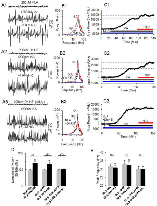 The effects of selective nAChR antagonists on nicotine's role on γ oscillations.(A1): Representative extracellular recordings in the presence of MLA (200 nM), MLA + KA (200 nM) and MLA + KA + NIC (1 μM). The 1-second waveforms were taken from the steady states under various conditions. (B1): The power spectra of field potentials corresponding to the conditions shown in A1. (C1): The time course shows the changes in γ power before and after application of NIC in the presence of MLA. (A2): Representative extracellular recordings in the presence of DhβE (200 nM), DhβE + KA and DhβE + KA + NIC. (B2): The power spectra of field potentials corresponding to the conditions shown in A2. (C2): The time course shows the changes in γ power before and after application of NIC in the presence of DhβE. (A3): Representative extracellular recordings in the presence of DhβE + MLA, DhβE + MLA + KA and DhβE + MLA + KA + NIC. (B3): The power spectra of field potentials corresponding to the conditions shown in A3. (C3): The time course shows the changes in γ power before and after application of NIC in the presence of DhβE + MLA. (D). The bar graph summarizes the percent changes in γ power before and after application of nicotine in the presence of various nAChR antagonists. Gray bars: Normalized control γ powers for MLA + KA, DhβE + KA or DhβE + MLA + KA; Black bars: percent changes in γ powers after application of nicotine in the presence of MLA + KA, DhβE + KA or DhβE + MLA + KA (**p < 0.01, compared with their own controls, one-way RM ANOVA). (E): Bar graph summarizes the changes in peak frequency in γ oscillations before and after application of nicotine in the presence of nAChR antagonists alone or combined. Gray bars: The peak frequencies before application of nicotine in the presence of MLA + KA, DhβE + KA or DhβE + MLA + KA. Black bars: The peak frequencies after application of nicotine in the presence of MLA + KA, DhβE + KA or DhβE + MLA + KA (*p < 0.05, one-way RM ANOVA).