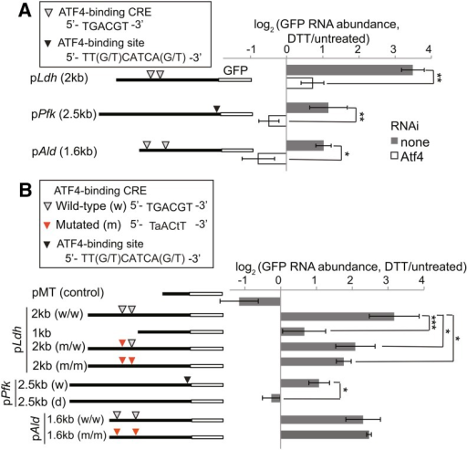 Atf4 binding sites within the promoters of Ldh and Pfk mediate Atf4-dependent transcriptional up-regulation. (A) We stably transfected S2 cells with the GFP reporter constructs diagrammed on the left. We then mock-treated or depleted cells of Atf4 by RNAi, incubated with and without DTT (2 mM, 5 hr), and measured relative GFP RNA levels by qPCR. (B) We transiently transfected S2 cells with reporter constructs containing wild-type or mutated promoter sequences as shown on the left. We then incubated cells with or without DTT (2 mM, 5 hr) and measured relative GFP RNA levels by qPCR. For all panels: shown are the means ± SDs of at least three independent experiments. *P < 0.05; **P < 0.005; ***P < 0.001, Student's paired t-test. Atf4, activating transcription factor 4; dsRNA, double-stranded RNA; DTT, dithiothreitol; GFP, green fluorescent protein; Ldh, Lactate dehydrogenase; Pfk, phosphofructokinase; qPCR, quantitative polymerase chain reaction; RNAi, RNA interference; TCA, tricarboxylic acid; Tm, tunicamycin