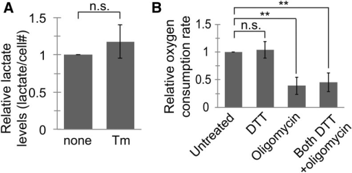 Lactate production and oxygen consumption are not changed in S2 cells during ER stress. (A) We measured lactate levels in the culture media of S2 cells treated with or without Tm (5 μg/mL, 23 hr). Although DTT is a typically more potent inducer of ER stress in these cells, its function as a reducing agent was incompatible with the redox-based lactate assay. We normalized the lactate concentration by number of cells and to the untreated samples. (B) We incubated S2 cells with or without DTT (2 mM, 5 hr), then added +/− oligomycin (1 μg/mL) for 10 min. We then measured the oxygen consumption rate of cells and normalized to the rate for untreated cells. For both panels, data are presented as means ± SDs of at least 3 independent experiments. ** P < 0.005, Student's paired t-test. DTT, dithiothreitol; ER, endoplasmic reticulum; n.s., not significant; Tm, tunicamycin.