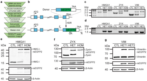 CRISPR/Cas9-mediated knockin of rsEGFP2 at three genomic loci in human U2OS cells.(a) Workflow for the generation of monoclonal human knockin cell lines for RESOLFT super-resolution microscopy. (b) Schematic representation of the integration strategy for generating C-terminally tagged rsEGFP2 fusion proteins expressed from the endogenous locus. White boxes, 5′- and 3′-untranslated region (UTR); blue boxes, exons; ATG, start codon; TAA, stop codon; HDR, homology-directed repair; F, locus-specific forward primer; R, locus-specific reverse primer; GR, rsEGFP2-specific reverse primer. (c, d) Analysis of two clonal lines per target locus. (c) Out-out PCR using primers F and R probing for locus-specific integration. CTL, control (parental U2OS cells); HMGA1-HET, heterozygous HMGA1-rsEGFP2HET1.5 clone, HMGA1-HOM, homozygous HMGA1-rsEGFP2HOM2.4 clone; ZYX-HET, heterozygous ZYX-rsEGFP2HET clone; ZYX-HOM, homozygous ZYX-rsEGFP2HOM clone; VIM-HET1, heterozygous VIM-rsEGFP2HET1.2 clone; VIM-HET2, heterozygous VIM-rsEGFP2HET2.1 clone. (d) Junction PCR using primers F and GR probing for locus-specific integration of rsEGFP2 transgene. (e–g) Western blot analysis of cell lysates of monoclonal cell lines immunoblotted for rsEGFP2, beta-Actin and the respective endogenously tagged protein: HMG-I (e), Zyxin (f) and Vimentin (g). Full length blots are shown in Supplementary Fig. 10.