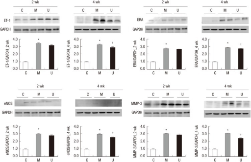 Changes of ET-1, ERA, eNOS, and MMP-2 protein expression levels after hUCB-MSCs injection in PAH rats. These are pictures of protein expression levels of ET-1, ERA, eNOS, and MMP-2 in the lung tissues. The protein expression levels of ET-1, ERA, eNOS, and MMP-2 were significantly increased in the M group compared with the C group at weeks 2 and 4. The protein expression levels of ET-1, ERA, eNOS and MMP-2 were significantly decreased at week 4. *P < 0.05 compared with the C group, †P < 0.05 compared with the M group. C, control group; M, monocrotaline group; U, hUCB-MSCs group.