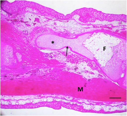 A 50% defect three months after treatment with BMP4/HGF, in which cartilage (asterisk) regenerated proximally from the distal end of the fibula (F) across half the defect.A thin shell of periosteal bone (arrow) covers the regenerated cartilage. M = muscle. Scale bar = 400 μm.