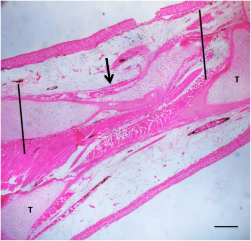A 50% defect three months after treatment with BMP-4/HGF.Cartilage (arrow) has regenerated across the defect space. Proximal is to the right; distal to the left. Vertical lines indicate approximate proximodistal boundaries of the defect space. T = tibia. Scale bar = 400 μm.