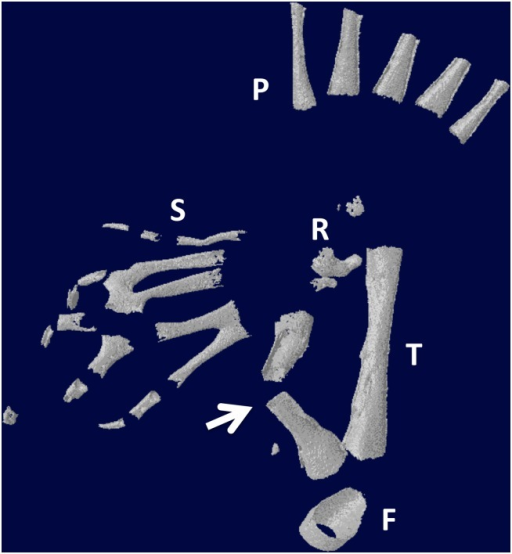 Micro-CT scan of specimen in Fig 15B.The arrow points to the regenerated fibula. S = supernumerary foot skeletal elements; P = skeletal elements of the primary foot. F = femur; T = tibia. R = remnant of distal cut end of the fibula, which has regressed extensively.