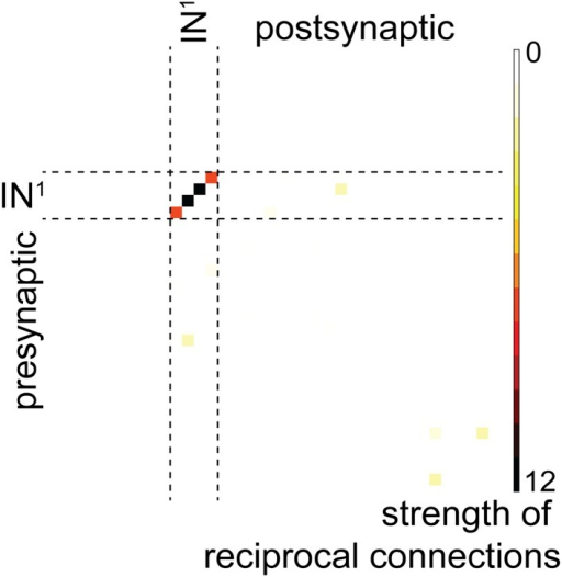 Reciprocal connection strength between all neuron pairs in the complete visual circuit (HT9-4).Strength is defined as the geometric mean of the number of synapses of a given neuron 'A' on another neuron 'B' and the number of synapses of neuron 'B' on neuron 'A'. Single neuron identifiers are not shown for simplicity.DOI:http://dx.doi.org/10.7554/eLife.08069.009