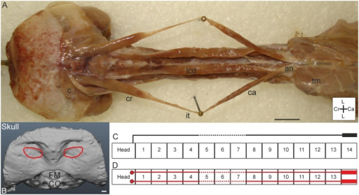 M. biventer cervicis.A) Dorsal view on both M. biventer cervicis sinister and dexter. The two sides are placed apart by needles, but in situ located dorsally from the M. longus colli dorsalis (lcd). M. biventer cervicis originates from the dorsocaudally located aponeurosis notarii (an), which is partly covered by thoracic muscles (tm). The cranial (cr) and caudal (ca) bellies are connected by the intersectio tendinea (it). M. biventer cervicis inserts at the cranium, ventral from the insertion of the M. complexus (c). Coordinate system indicates lateral (L), caudal (Ca) and cranial (Cr). Scale bar represents one centimetre. B) Insertion site of the M. biventer cervicis on the skull (red line) as seen from dorsal (D) view. Foramen magnum (FM) and condylus occipitalis (CO) are indicated in the skull. Scale bar represents one millimetre (adapted from [5]). C) Connection diagram from lateral view of M. biventer cervicis in T. f. pratincola; origin and insertion sites are connected with lines representing the muscle slips; broken line represents intersectio tendinea. The heavy line above C14 represents aponeurosis notarii. D) Connection diagram from dorsal view of M. biventer cervicis, in which the muscle attachment sites are indicated with red circles and are interconnected by a line representing the muscle and broken lines indicating intersectio tendinea. The heavy line above C14 represent the aponeurosis notarii.