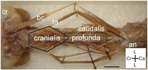 M. longus colli dorsalis overview.Dorsal view on M. longus colli dorsalis: pars cranialis (bordered by solid line) is located cranially and connected to the more caudally located pars caudalis by the tendo axialis (ta). The pars profunda (surrounded by dotted rectangle) is located ventrally from the pars caudalis. All parts are located ventrally from the M. biventer cervicis (bc). Cranium (cr) and aponeurosis notarii (an) are indicated for clarity. Coordinate system indicates lateral (L), caudal (Ca) and cranial (Cr). Scale bar represents one centimetre.