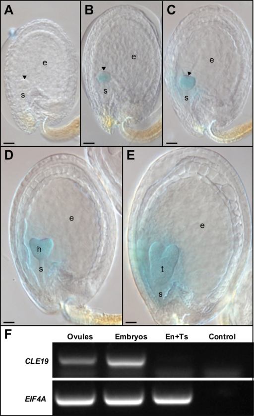 Embryo-specific expression of CLE19 during seed development. (A–E) GUS expression in seeds excised from pCLE19:GUS:tCLE19 transgenic plants. Note that GUS staining was first detected in late globular-stage embryos (B), and persisted in the triangular (C), heart-shaped (D), and torpedo-stage embryos (E), while no GUS expression was observed in the early globular embryo (A). Scale bars=50 μm. Early embryos (A–C) are indicated by arrowheads; h, heart-shaped embryo; t, torpedo-stage embryo; e, endosperm; s, suspensor. (F) RT–PCR to show CLE19 expression in ovules and embryos, but not in mixed endosperm and testa tissues (En+Ts). EIF4A was used as an internal standard. Control, without cDNA.